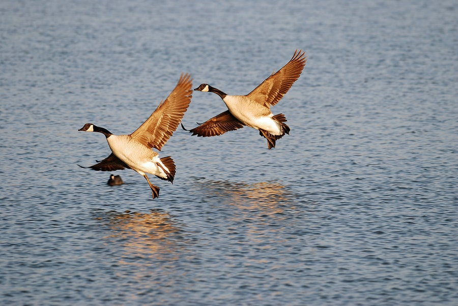 Watch the Fall Bird Migration of Canadian Geese at Horicon Marsh in 2019